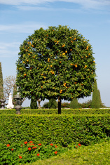 Orange Tree in Baha'i Gardens
