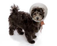 Puppy Dog with E-collar Elizabeth Surgical Collar