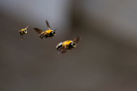 Group of Bumblebees