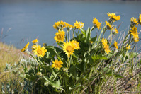 Yellow Balsamroot in the Gorge