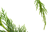 Simple cypress foliage frame - Copy Space