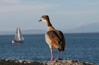 Goose overlooking False Bay