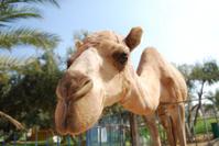 Jericho Camel