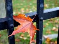 maple leaf caught on iron gate