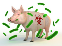 Swine flu - pig and virus cells