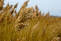 Golden grass field