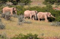 Desert Adapted Elephant Herd, Namibia