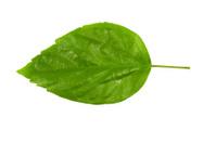 Hibiscus leaf isolated,  rosa-sinensis