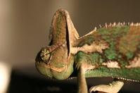 Velied Chameleon