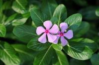 Pink periwinkle flowers