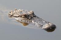 Alligator sitting in water