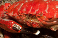 After the battle - Red rock crab with broken claw