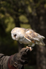 Falconer with a trained barn owl