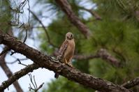 Red-Shouldered Hawk looking down