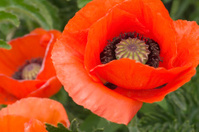 Oriental Poppy in Formal Garden (Papaver orientale)