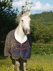 Horse in Buttercup field