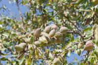 Almonds Ripening On Tree