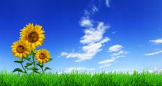 Green field, grass, sunflowers, blue sky (XXXL size)