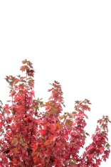 Red maple leaves against a white sky