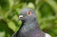 Pidegon, Head, Eye, Bird, Beak, Green