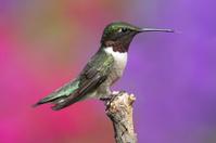 Ruby-throated Hummingbird On A Perch