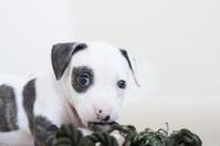 Pit bull Puppie