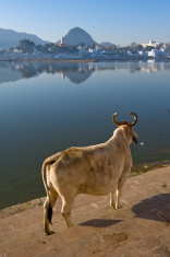 Cow standing on the ghat of holy lake Pushkar