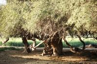Old Acacia Nilotica AKA Kikar Tree
