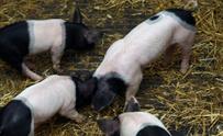Piglets fighting