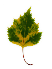 Isolated Green and Yellow Leaf