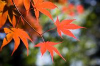 Japanese Maple Leaves Backlit
