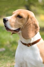 beautiful Beagle
