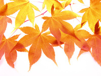 Autumn  leaves of japanese maple