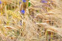 Barley (Cereal Plant)