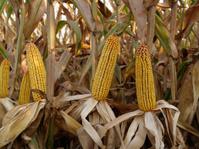 Corn, corncob
