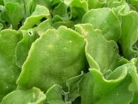 Fleshy green stuff