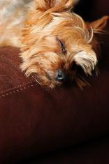 Sleeping Yorkie