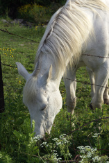 White Horse Eating Over the Fence