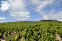 Vineyard Landscape near Fleurie in  the Beaujolais area