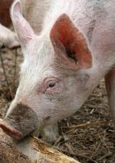 pink pig feeding
