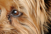 Yorkshire Terrier Eye