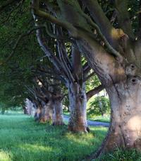 Old tree canopy