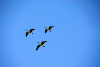 Canada Geese Flying High