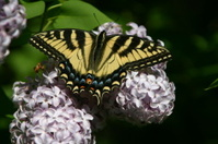 Yellow and Blue Butterfly on Purple Lilac