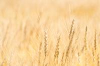 Barley Series