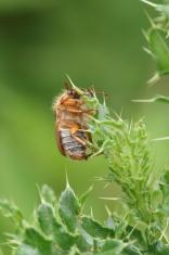 Hairy Beetle