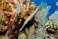 Trumpetfish and colorful reef