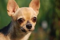 The alert Chihuahua dog