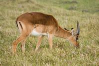 Young Impala Antelope grazing