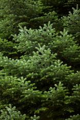 Detail of green fir